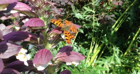 Comma-Butterfly-on-Acanthus-at-Crumble-Cottages