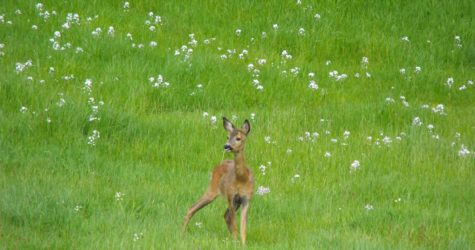 Deer-in-wild-flower-meadow-at-Crumble-Cottages