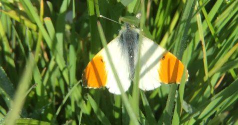 Orange-tip-butterfly